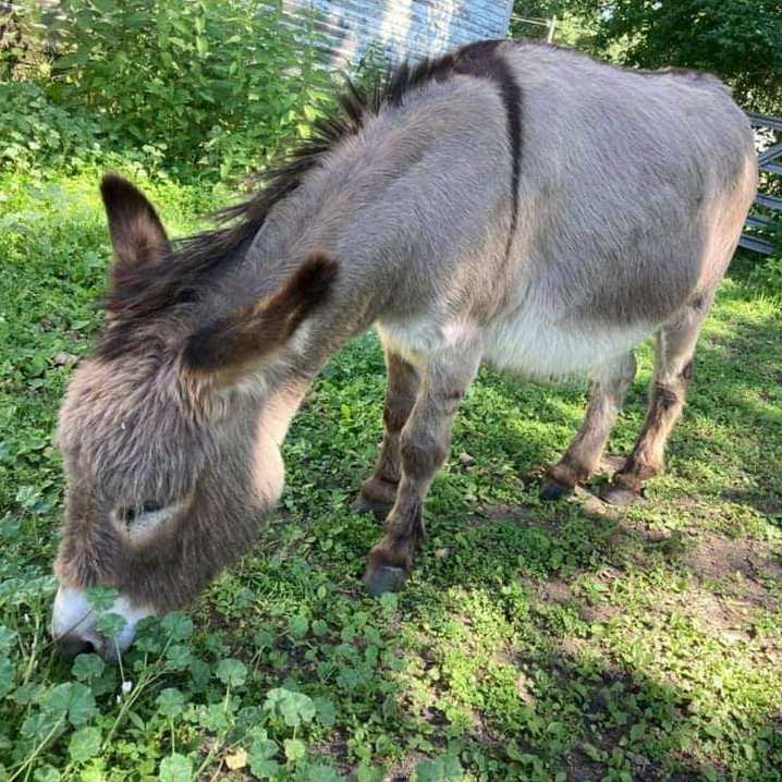 Ernest the donkey who lives in Waterloo, IA.