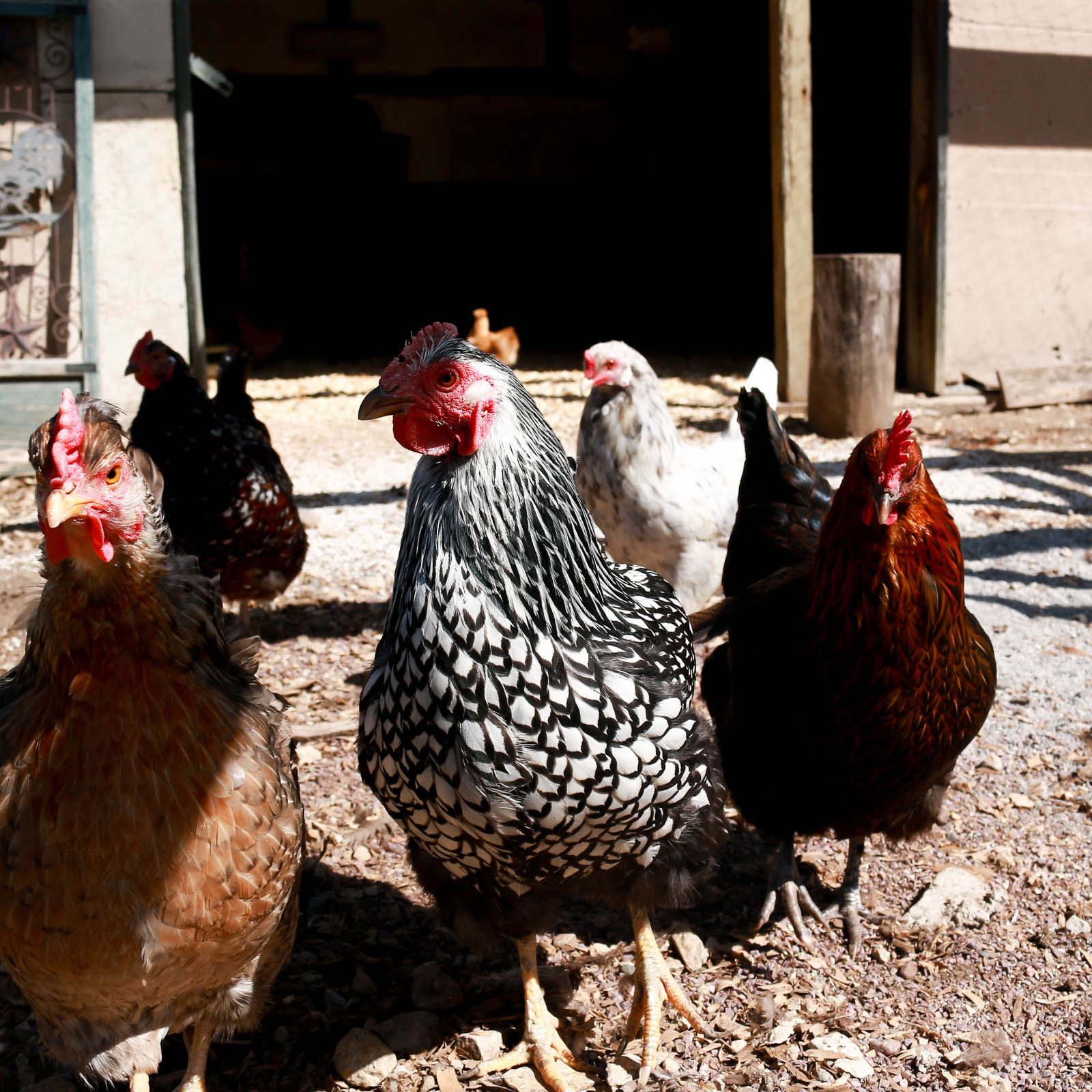 Waterloo chickens