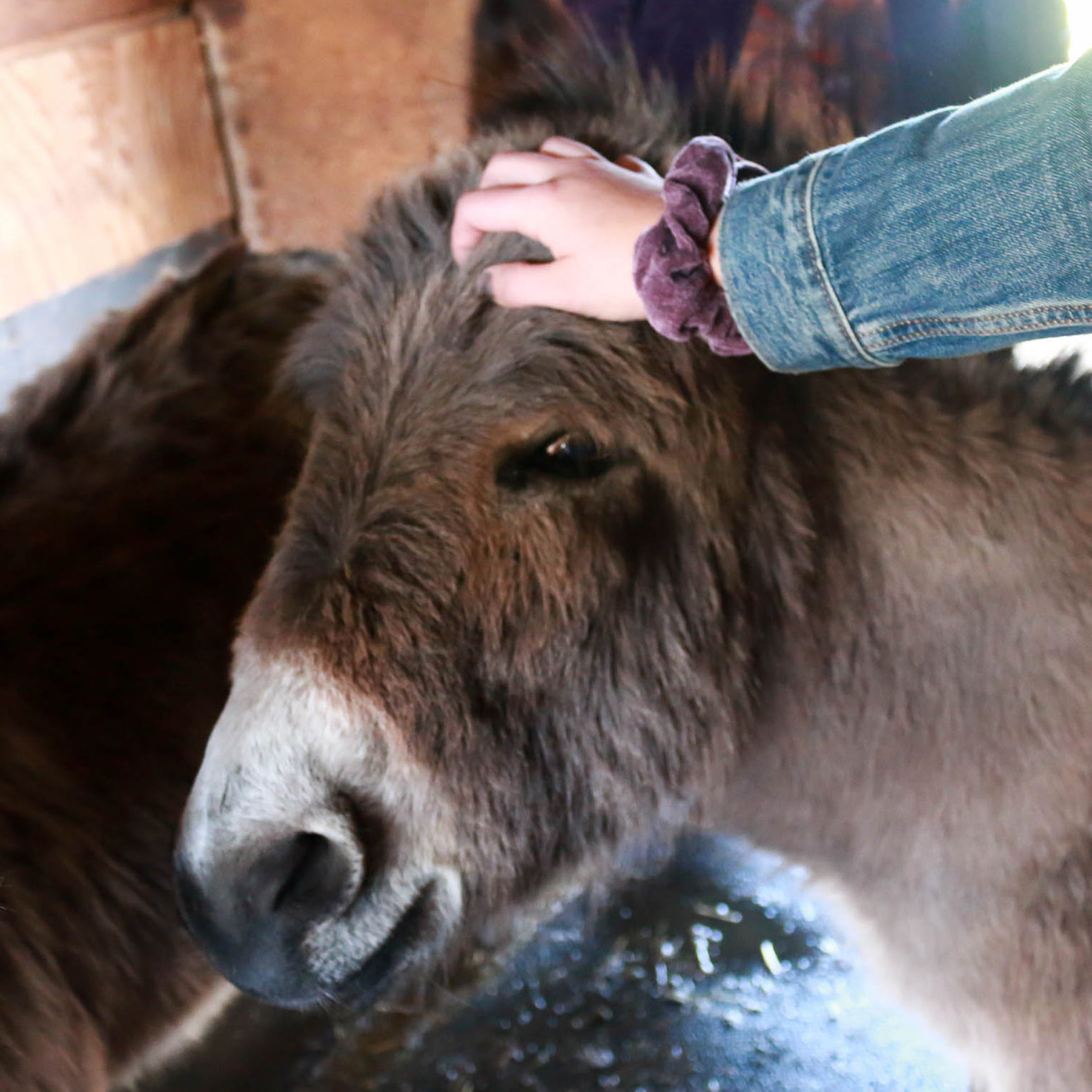 Izzy, a miniature donkey in Waterloo, IA.
